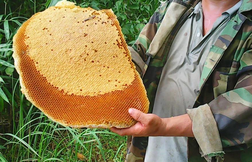 Mật ong rừng (tổ)