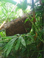 Tổ mật ong rừng